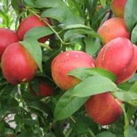 Нектарин Рубиновый 8 - поздний, крупноплодный, урожайный, фото 1