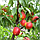 Нектарин Рубиновый 8 - поздний, крупноплодный, урожайный, фото 2