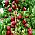 Нектарин Рубиновый 8 - поздний, крупноплодный, урожайный, фото 4