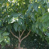 Шелковица извилистая Тортуоза - декоративная, плодоносная, крупнолистная