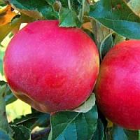 Яблоня Айдаред - зимняя, устойчивая, крупноплодная