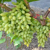 Виноград Кишмиш Столетие - среднего срока, крупноплодный, морозостойкий