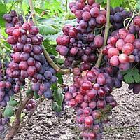 Виноград Заря Несветая - раннего срока, крупноплодный, транспортабельный