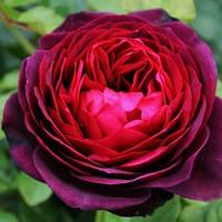 Роза парковая Астрид Графиня фон Харденберг (Astrid Grafin von Hardenberg)