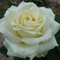 Роза чайно-гибридная Эдванс (Rose Advance)