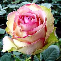 Роза чайно-гибридная Эдвенчер (Rose Adventure)