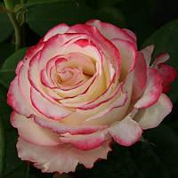 Роза чайно-гибридная Свитнес (Sweetness)