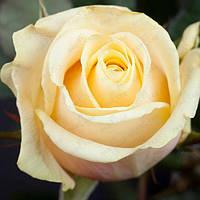 Роза чайно-гибридная Талея (Talea)