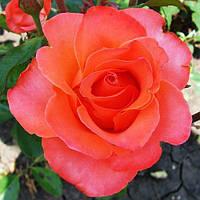 Роза чайно-гибридная Вау (Wow)