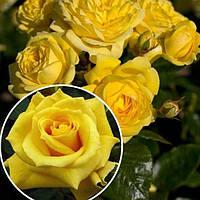 Роза флорибунда Фрезия (Friesia)