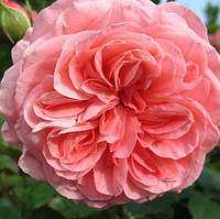 Роза флорибунда Шакенборг (Schackenborg)