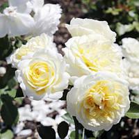 Роза почвопокровная Кент (Kent)