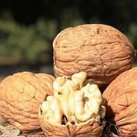 Грецкий орех Костюженский (привитый)