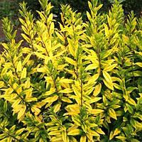 Бирючина обыкновенная Ауреум (Ligustrum vulgare Aureum)