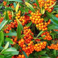 Пираканта ярко-красная Оранж Глоу (Pyracantha coccinea Orange Glow)