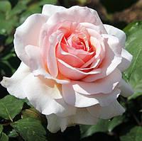 Роза чайно-гибридная Анна (Anna)