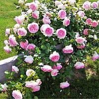 Роза плетистая Эден Роуз (Eden Rose)