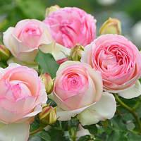 Роза плетистая Пьер де Ронсар (Pierre de Ronsard)
