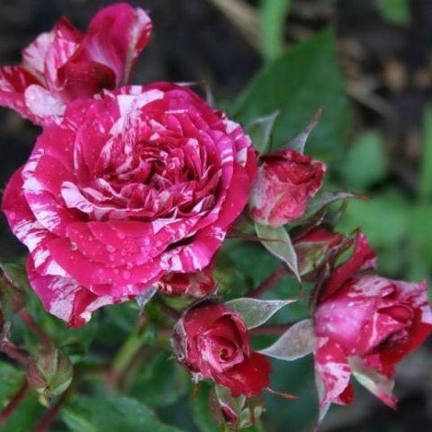Саженцы розы флорибунда Арроу Фолиес (Rose Arrow Folies)