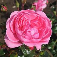 Роза флорибунда Берлебург (Berleburg)