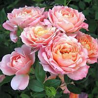 Роза флорибунда чери бренди