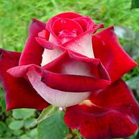Роза чайно-гибридная Люксор (Luxor)