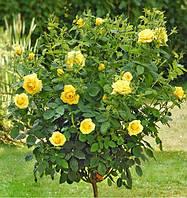 Роза штамбовая Еллоу Долл