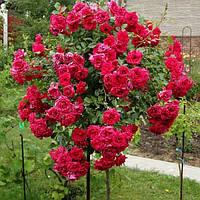Роза штамбовая Мона Лиза