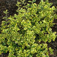 Бересклет Форчуна Канадейл Голд(Euonymus fortunei Canadale Gold)
