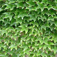 Виноград Вичи, привитой (Parthenocissus tricuspidata Veitchii)