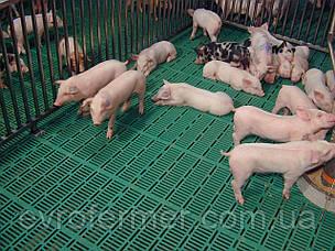 Свиноводство для новичков. Что такое пластиковые щелевые полы?