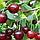 Саженцы Вишни Встреча - (2-х летка), среднего срока, крупноплодная, морозостойкая, фото 3