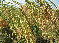 Зерновые культуры озимые и яровые ( ячмень, пшеница, просо и т.д.)