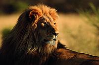 Фотообои флизелиновые 3D Животные 375х250 см Большой лев (MS-5-0231)