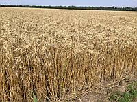 Семена пшеница озимая СТАЛЕВА элита оригинатор ЧСС ОП БОР