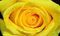 Фотообои 3D цветы 368x254 см Бутон розы, ярко желтая (661CN)