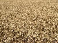 Семена пшеница озимая Левада P1