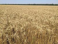Семена пшеница озимая ШЕСТОПАЛОВКА первая репродукция оригинатор ЧСС ОП БОР