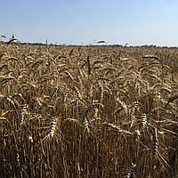 Семена пшеница озимая АНТОНОВКА 1P оригинатор Одесский селекционно генетический институт
