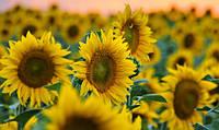 """Насіння соняшника """"Українське сонечко"""" гібрід  (економ)"""
