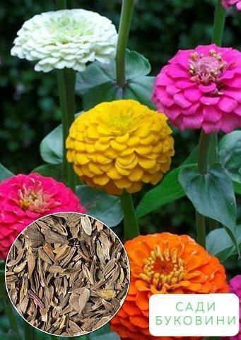 На развес Циния георгиноцветковая 'Монарх' ТМ 'Весна' цена за 4г
