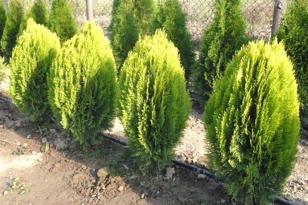 Туя східна Aurea Nana 2 річна, Туя східна Ауреа Нана, Thuja / Platycladus orientalis Aurea Nana