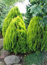 Туя східна Aurea Nana 2 річна, Туя східна Ауреа Нана, Thuja / Platycladus orientalis Aurea Nana, фото 2