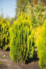 Туя східна Aurea Nana 2 річна, Туя східна Ауреа Нана, Thuja / Platycladus orientalis Aurea Nana, фото 3