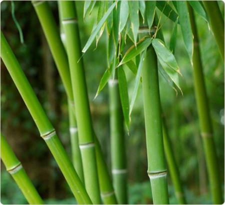Бамбук ― быстрорастущее растение