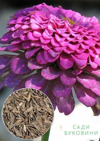 На вагу Цінія карликова 'Пурпурний' ТМ 'Весна' ціна за 4г