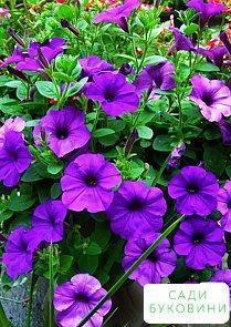 Петуния фиолетовая (в банке) ТМ 'Весна Органик' 5г