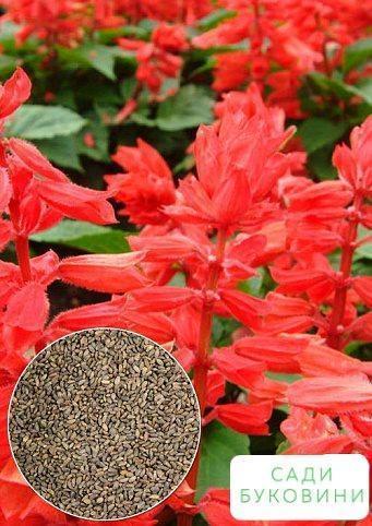 На развес Сальвия лососевая ТМ 'Весна' цена за 2г
