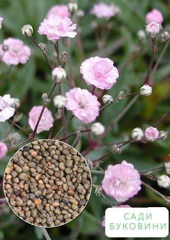 На развес Гипсофила розовая ТМ 'Весна' цена за 3г