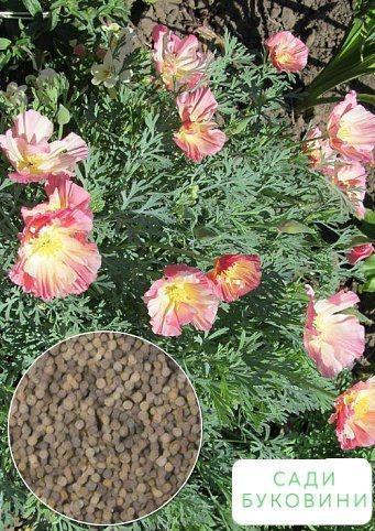 На развес Эшшольция 'Яблоневый цвет' ТМ 'Весна' цена за 4г